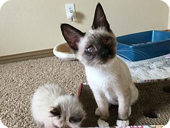 Snowshoe Cat for adoption in McKinney, Texas - Ghost