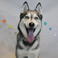 Adopt A Pet :: Blaze - Wantagh, NY
