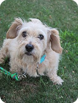 Miniature Schnauzer/Terrier (Unknown Type, Small) Mix Dog for adoption in Tracy, California - Mitzy