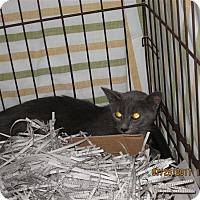 Domestic Shorthair Cat for adoption in Dallas, Georgia - 17-07-2282a