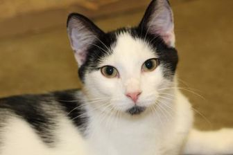 Domestic Shorthair/Domestic Shorthair Mix Cat for adoption in Quincy, Illinois - Rafe