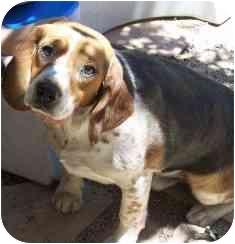 Beagle Mix Dog for adoption in Phoenix, Arizona - Mugsy