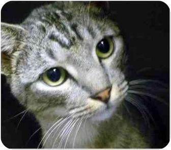 Domestic Shorthair Cat for adoption in San Clemente, California - ALLEGRO