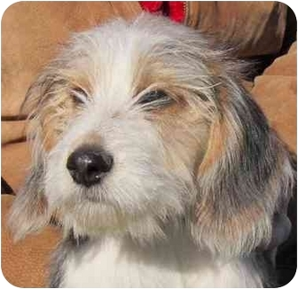 Sheltie, Shetland Sheepdog/Terrier (Unknown Type, Medium) Mix Puppy for adoption in Overland Park, Kansas - Shaggy