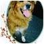 Photo 4 - Golden Retriever/Collie Mix Dog for adoption in Freeport, New York - Rusty