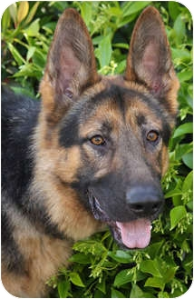 German Shepherd Dog Dog for adoption in Los Angeles, California - Strauss von Steinbeck