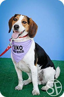 Beagle Dog for adoption in Rigaud, Quebec - Teega