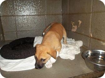Shepherd (Unknown Type) Mix Puppy for adoption in Henderson, North Carolina - Brownie