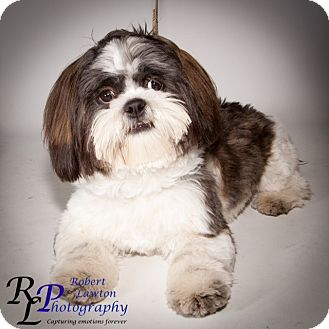 Shih Tzu Puppy for adoption in Eden Prairie, Minnesota - Remington