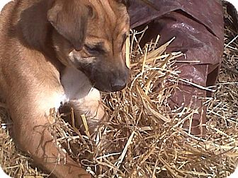 Boxer/Feist Mix Puppy for adoption in Bedminster, New Jersey - Lila