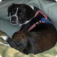 Beagle/Boston Terrier Mix Dog for adoption in Hockessin, Delaware - Bella