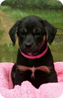 Shepherd (Unknown Type) Mix Puppy for adoption in Terrell, Texas - Katie