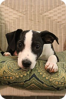 Chihuahua Mix Puppy for adoption in Greenville, Virginia - Fisher