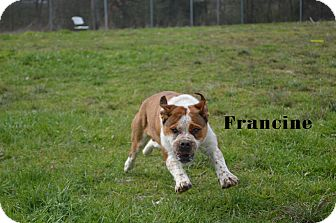 Bulldog Mix Dog for adoption in Texarkana, Arkansas - Francine