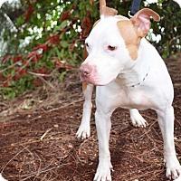 Adopt A Pet :: Davina - Miami, FL