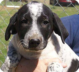 Blue Heeler/Labrador Retriever Mix Puppy for adoption in Spring Valley, New York - Jag
