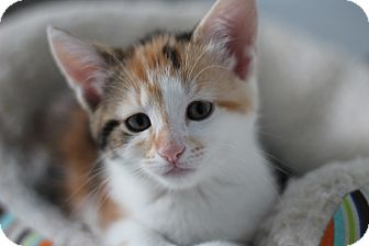 Domestic Shorthair Kitten for adoption in Richmond, Virginia - Petal and Daisy