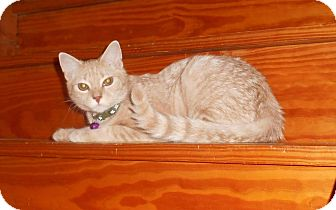 Domestic Shorthair Cat for adoption in Parkton, North Carolina - Rolo