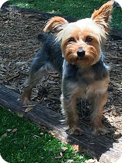 Yorkie, Yorkshire Terrier Dog for adoption in Leesburg, Florida - Brandi