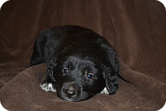 Border Collie Mix Puppy for adoption in Groton, Massachusetts - Gene Kelly