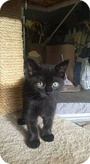 Domestic Shorthair Kitten for adoption in Huntley, Illinois - Envy