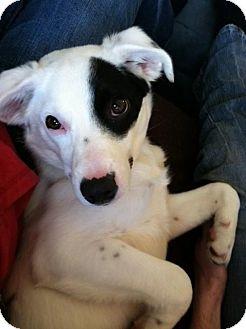 Border Collie/Spaniel (Unknown Type) Mix Puppy for adoption in Point Pleasant, Pennsylvania - BAILEY