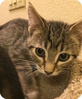 Domestic Shorthair Kitten for adoption in Fountain Hills, Arizona - IAN