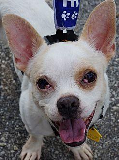 French Bulldog/Chihuahua Mix Dog for adoption in Southeastern, Pennsylvania - Jordy