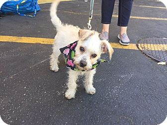 Terrier (Unknown Type, Small) Mix Dog for adoption in Los Angeles, California - Finnley