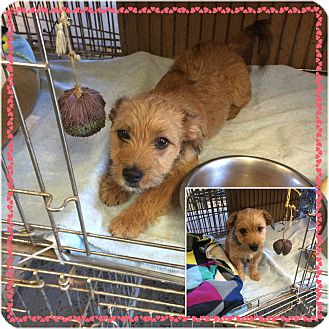 Cairn Terrier Mix Puppy for adoption in Baltimore, Maryland - Toby