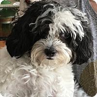 Adopt A Pet :: Pia - Chicago, IL