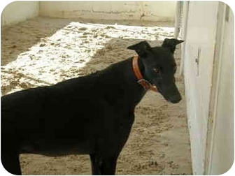 Greyhound Dog for adoption in St Petersburg, Florida - Speedy