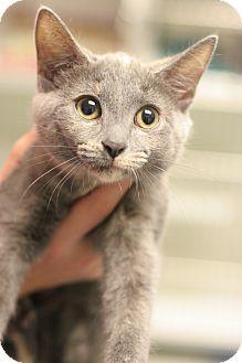 Domestic Shorthair Kitten for adoption in Staunton, Virginia - Rockette