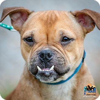 Dachshund/English Bulldog Mix Dog for adoption in Evansville, Indiana - Marley