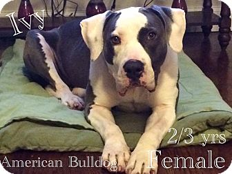 American Bulldog Mix Dog for adoption in DeForest, Wisconsin - Ivy