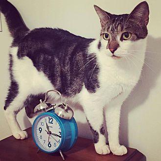 Domestic Shorthair Cat for adoption in Savannah, Georgia - Theresa