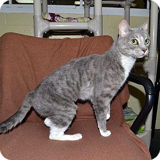 Domestic Shorthair Cat for adoption in Wheaton, Illinois - Gatina