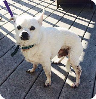 Chihuahua Dog for adoption in Dayton, Ohio - Spudz