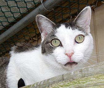 Domestic Shorthair Cat for adoption in Carmel, New York - Carrie