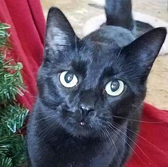 Domestic Shorthair Cat for adoption in Colfax, Iowa - Quinn