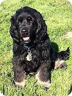 Cocker Spaniel Mix Dog for adoption in Sacramento, California - Bailey-Adoption Pending
