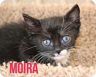 Domestic Shorthair Kitten for adoption in Glendale, Arizona - MOIRA