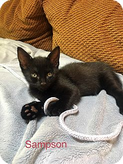 Domestic Shorthair Kitten for adoption in Southington, Connecticut - Sampson and Rocky