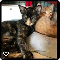 Domestic Shorthair Kitten for adoption in Fallbrook, California - Peach