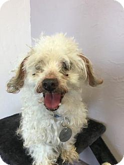 Toy Poodle Mix Dog for adoption in Dallas, Texas - Gizmo