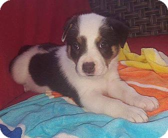 Australian Shepherd/Border Collie Mix Puppy for adoption in Southington, Connecticut - Ruby