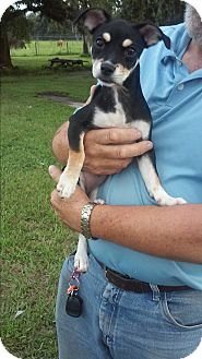 Miniature Pinscher/Chihuahua Mix Puppy for adoption in Zolfo Springs, Florida - Cassie