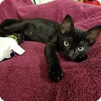 Adopt A Pet :: Perseus - Montgomery City, MO