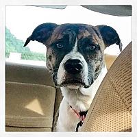Adopt A Pet :: Tilly - Summerville, SC
