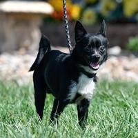Adopt A Pet :: Skunk - Ottumwa, IA